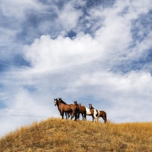 Horses, Little Big Horn, Montana, August 29, 2019